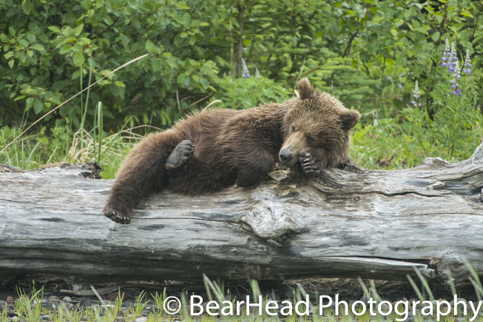 A large cub gets cozy on a log.