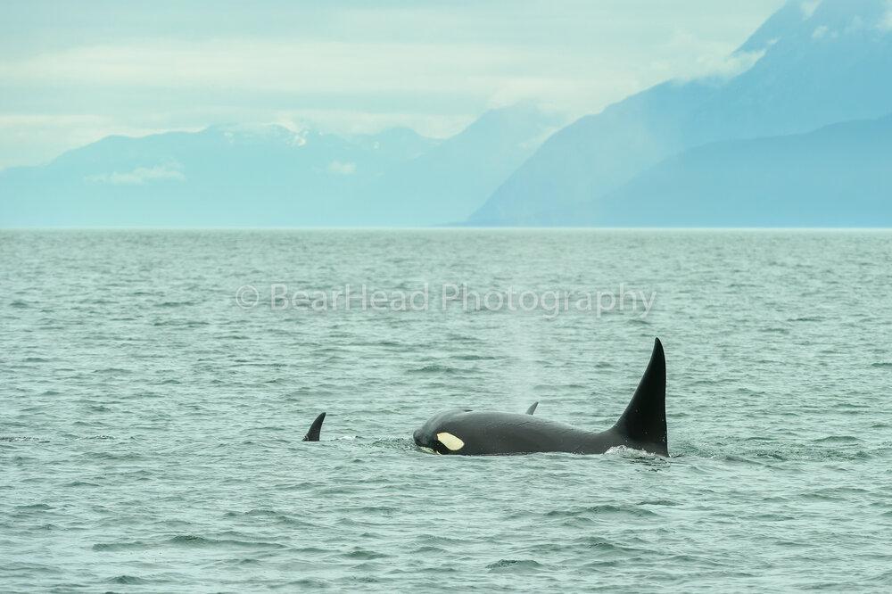 Alaskan Orca