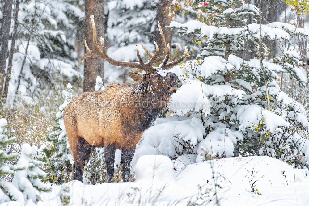 Winter Bugle