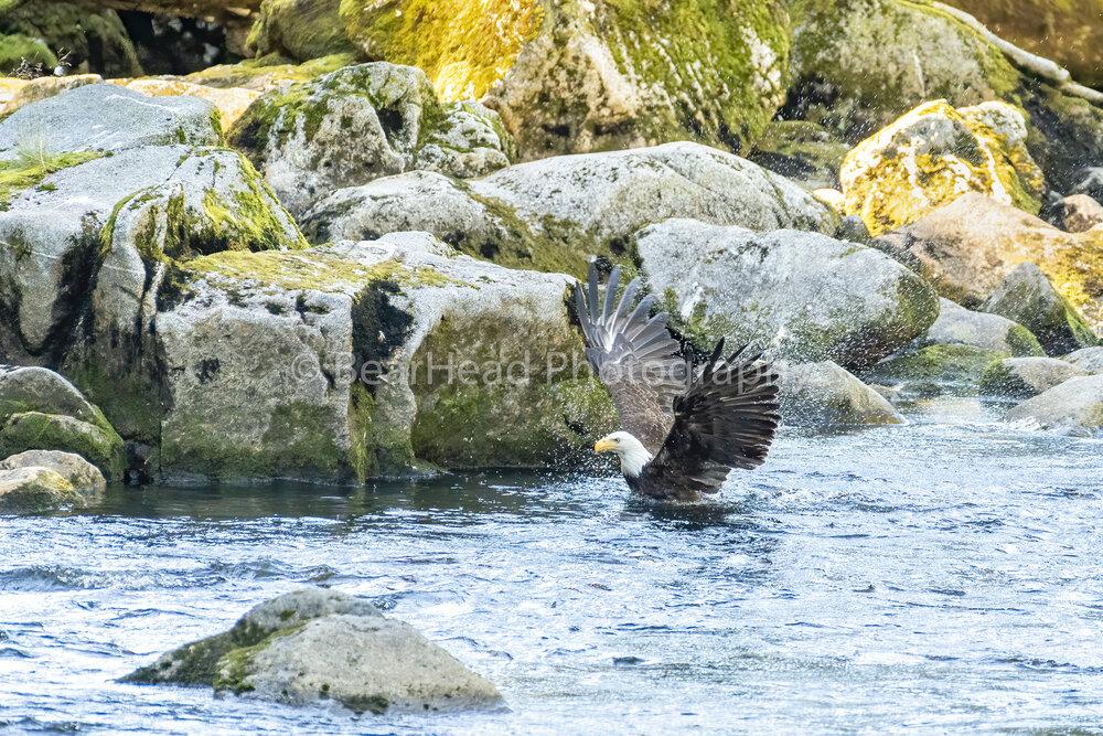 Eagle Swimming