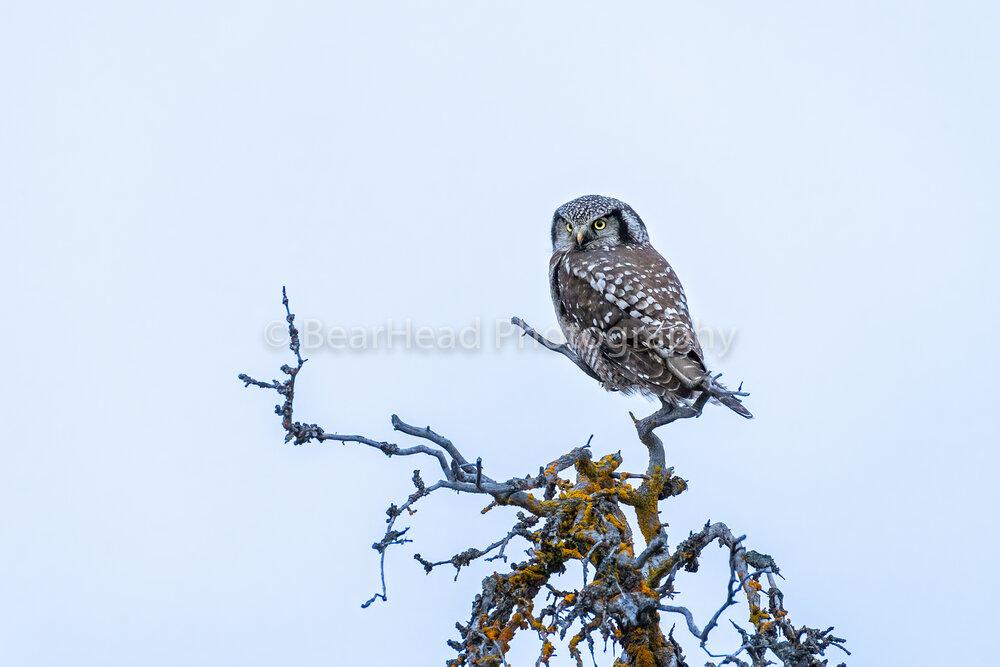 Owl Snag