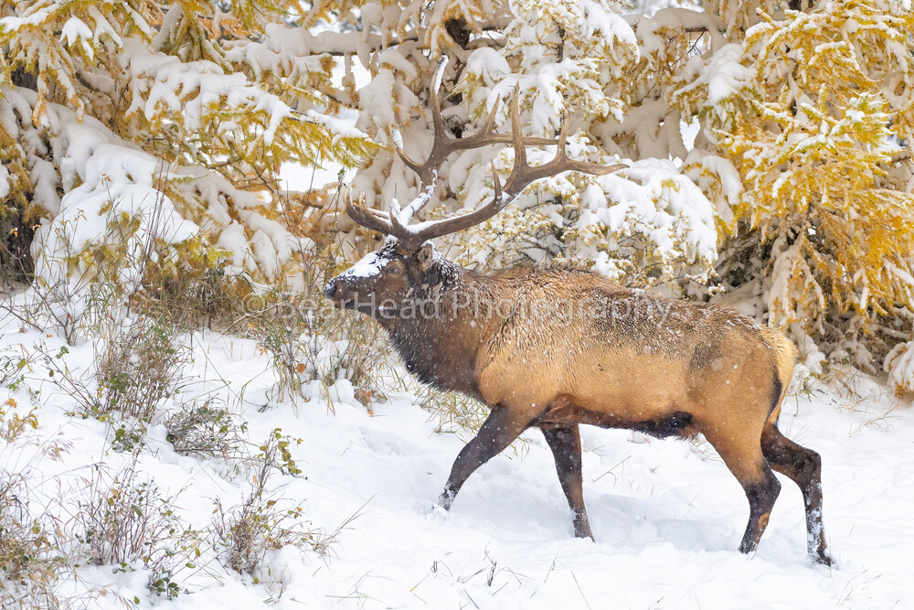Elk Larch