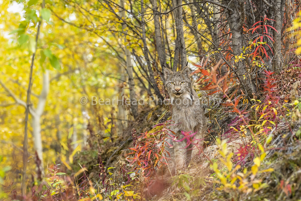 Colorful Lynx