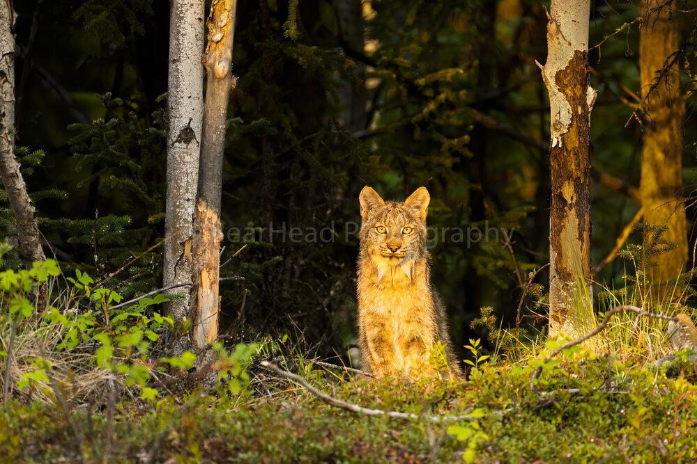 Lynx Light