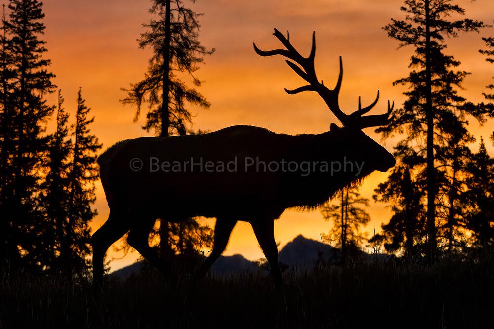 Elk Sunrise