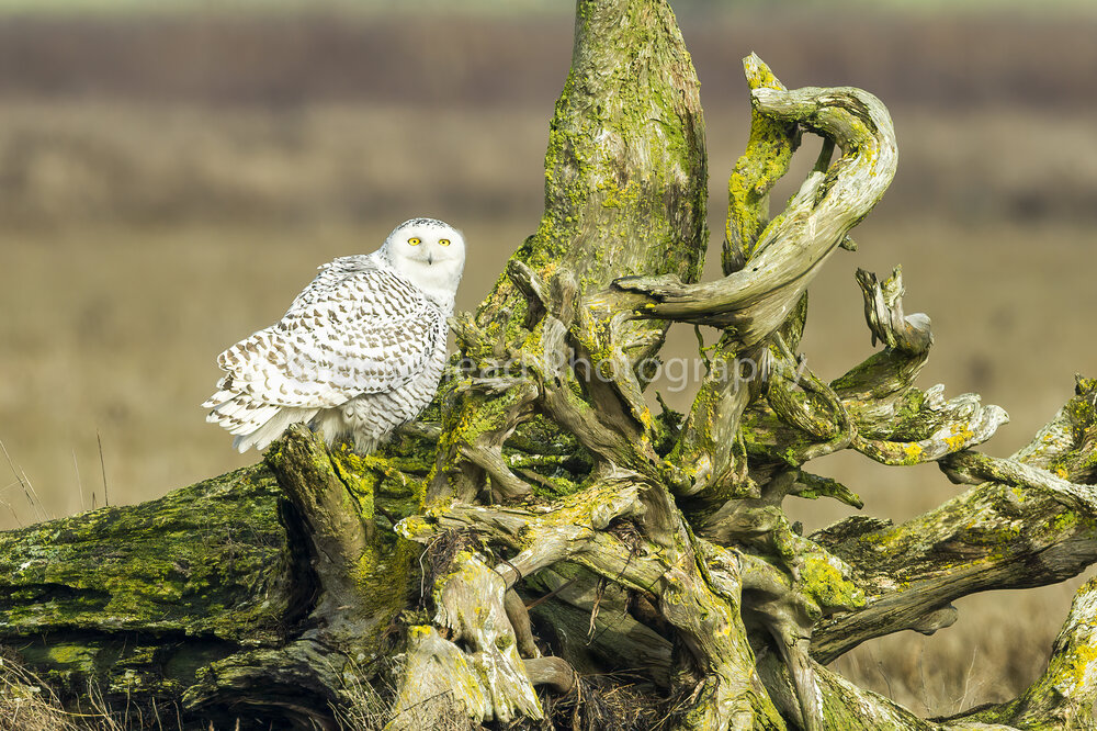 Drifting Owl