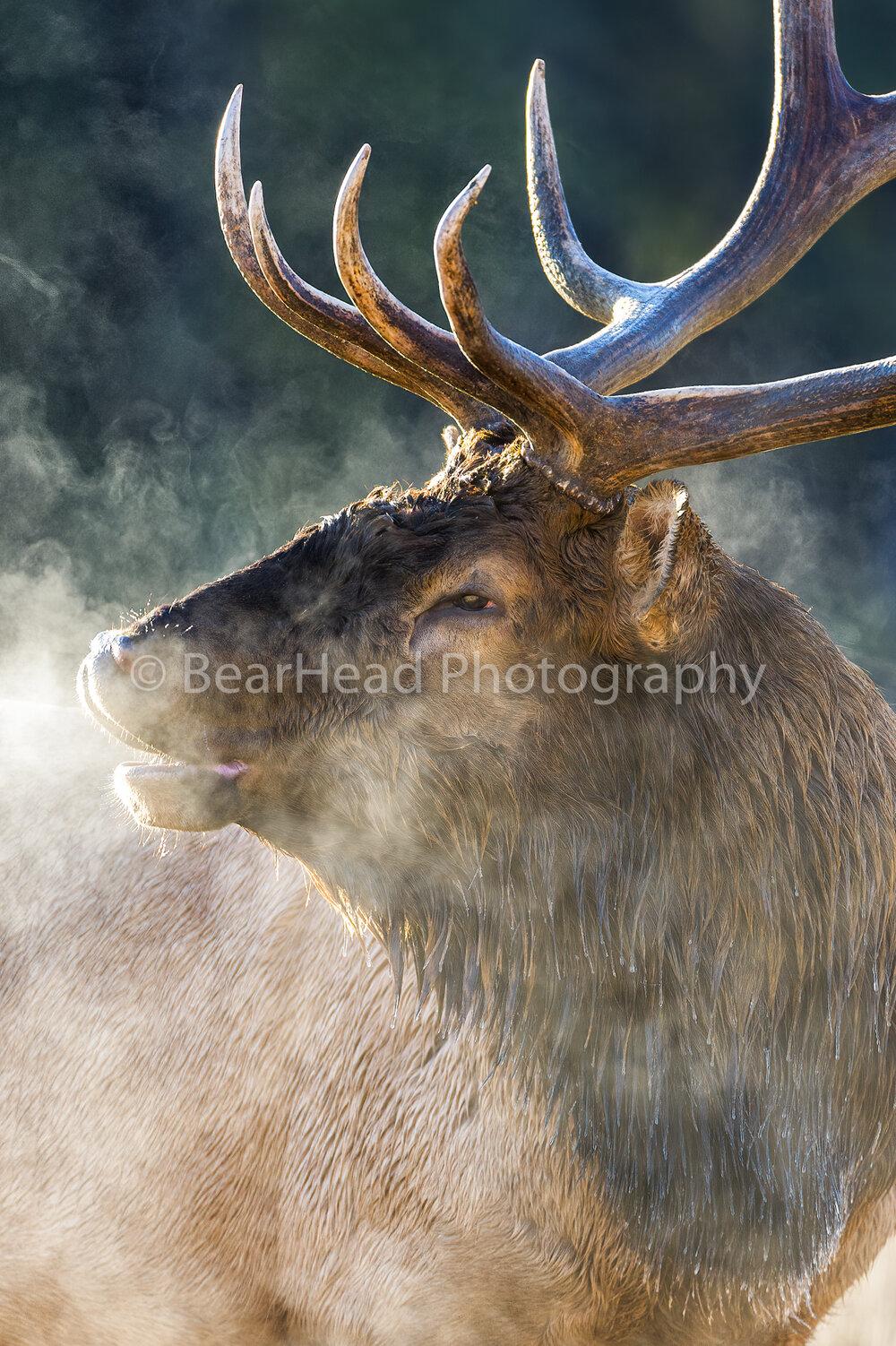 Steamy Elk