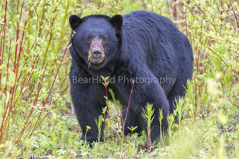 Wise Bear