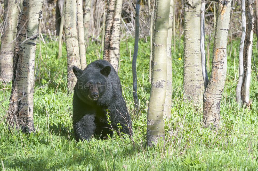Aspen Bear