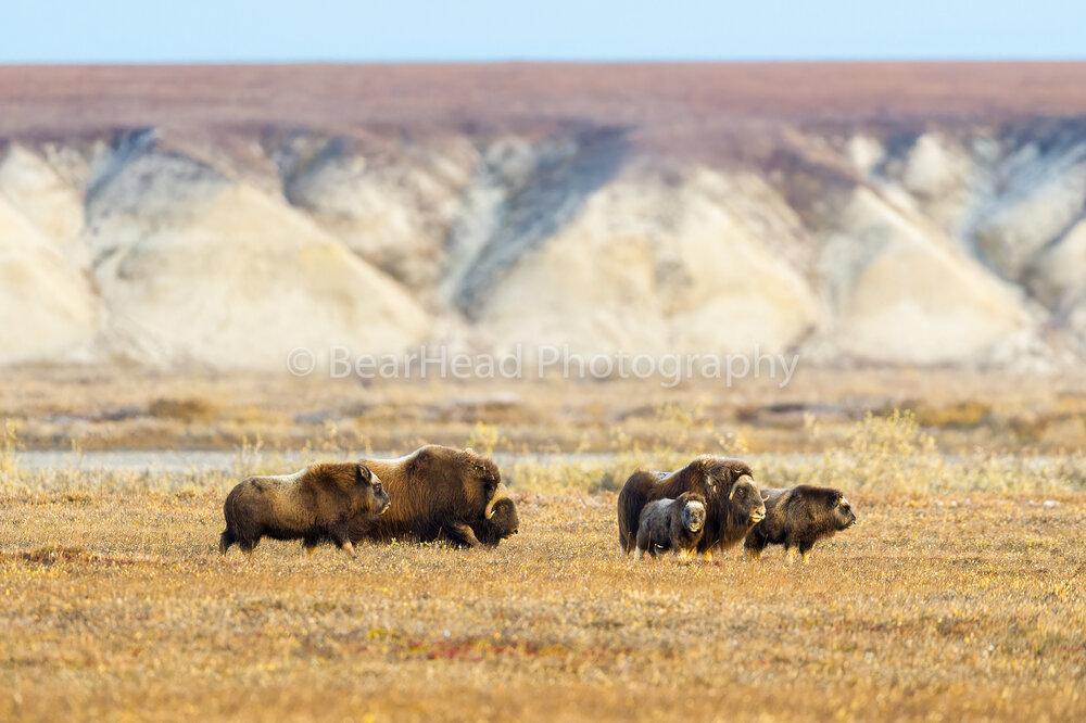 Oxen Family