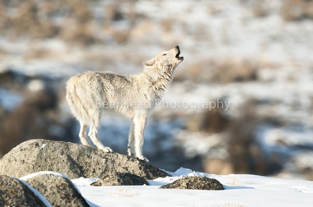 White Howl