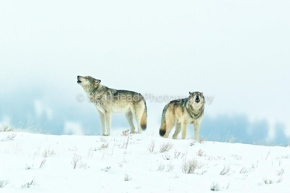 Alpha Howling