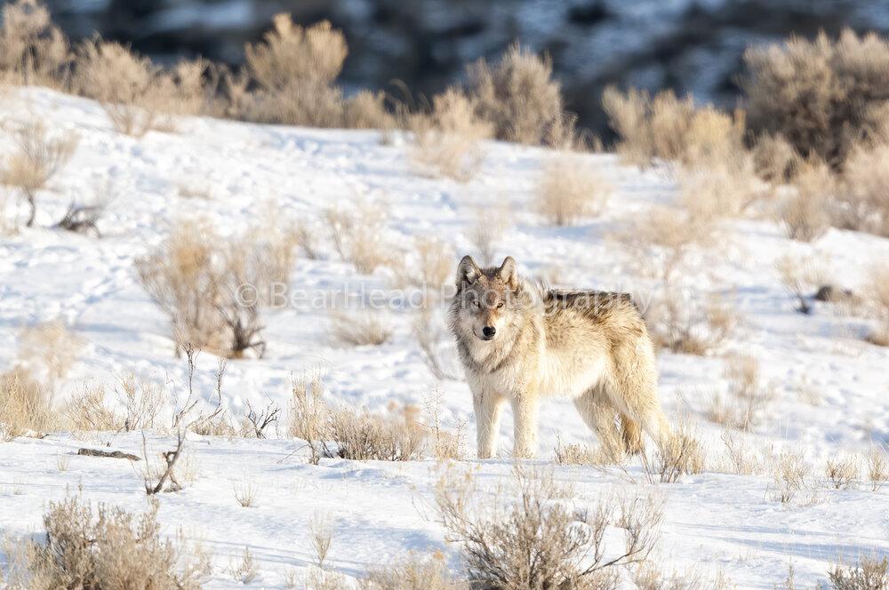 Wolf Sage