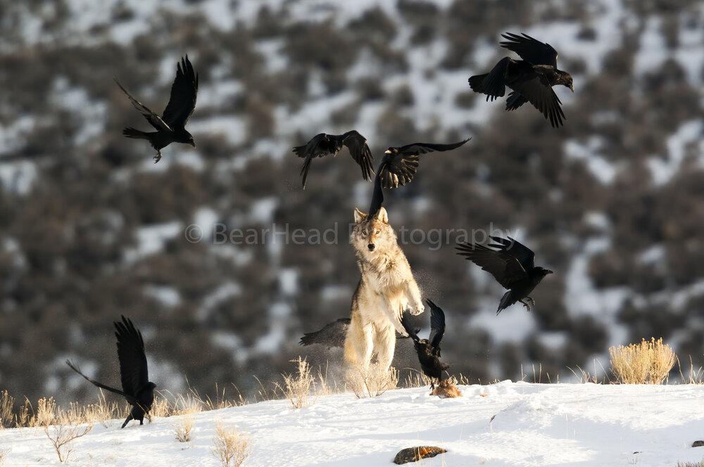 Raven Jumping