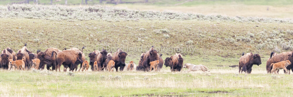 Bison Chase