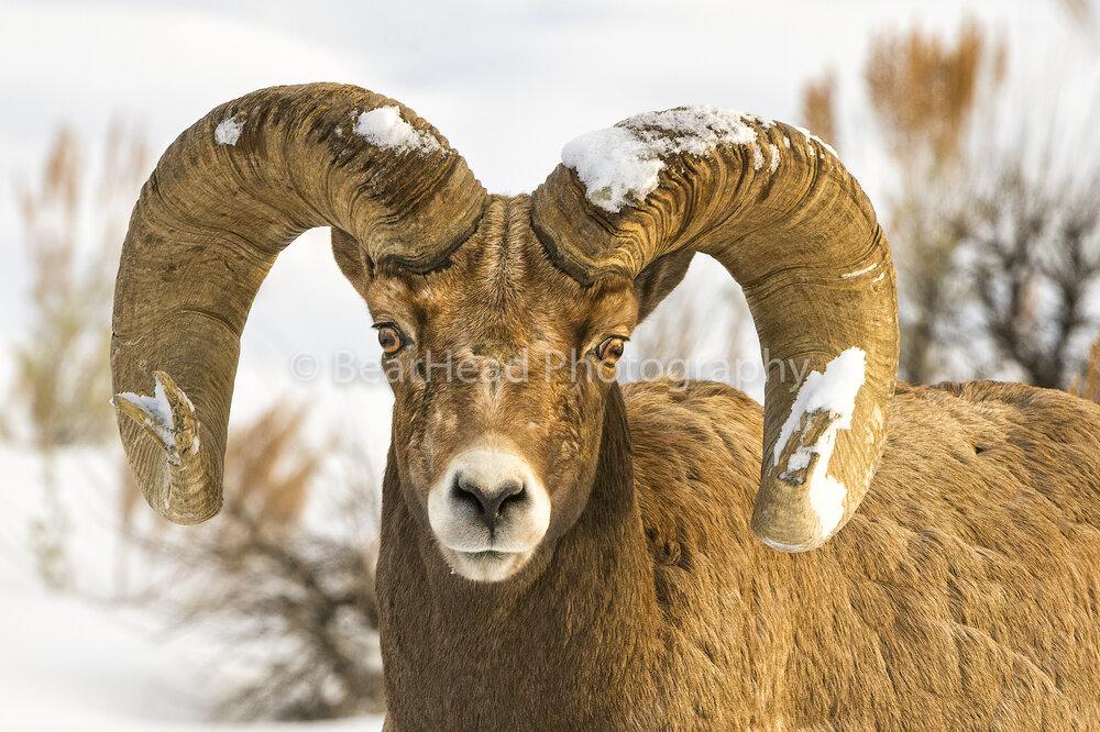 Snow Horns