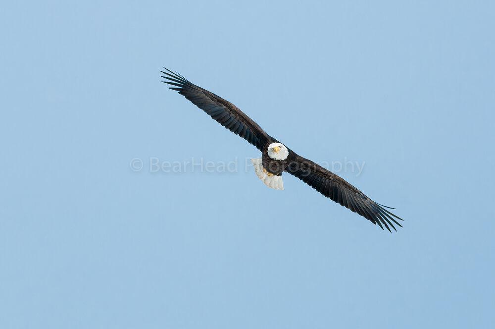 Confused Eagle
