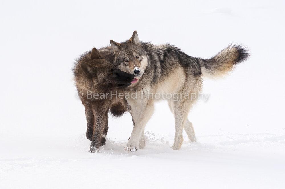 Wolf Greeting