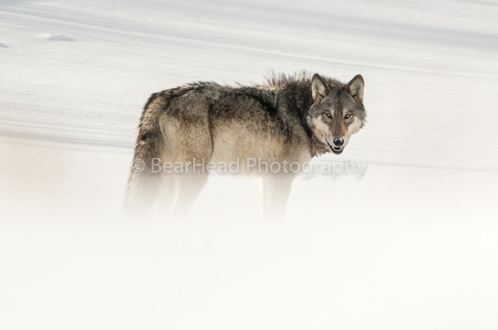 Faded Wolf