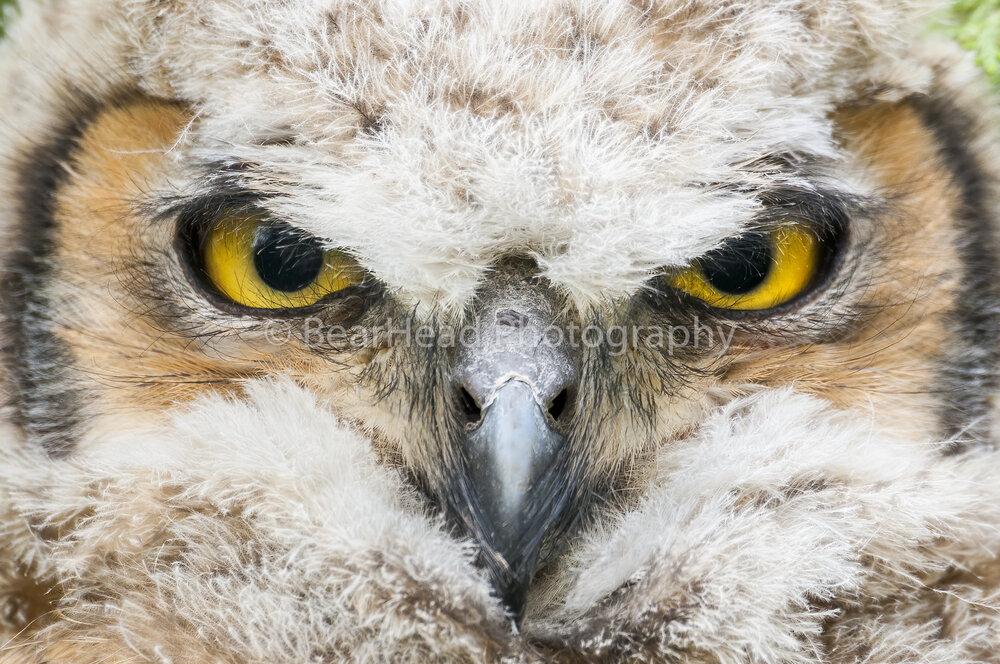 Great Owl Eyes