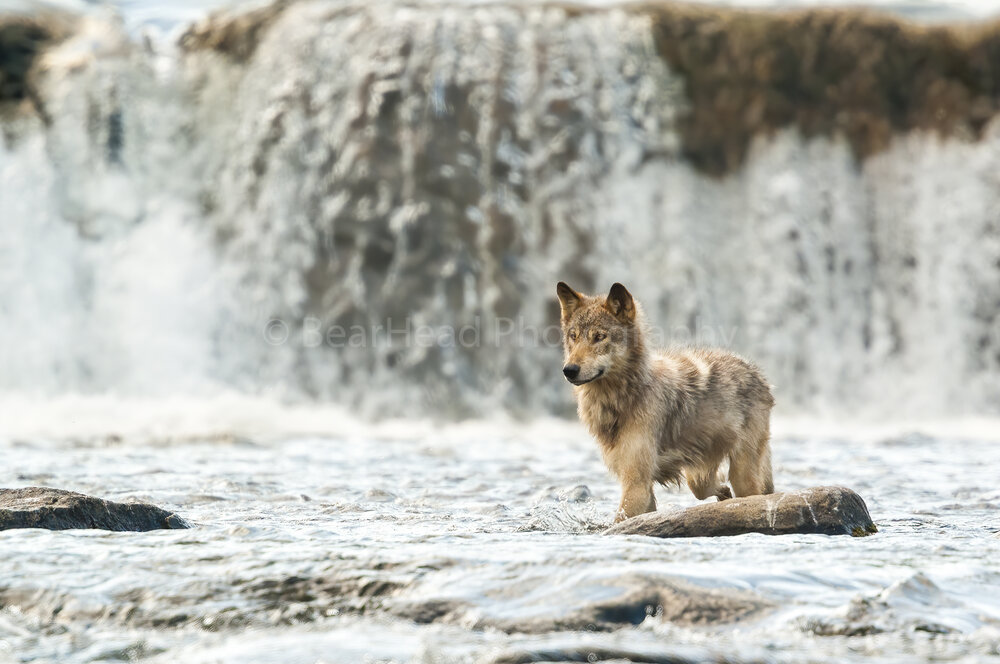 River Wolf