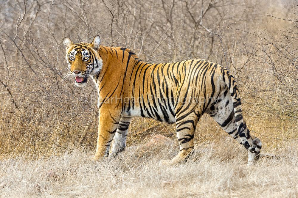 Tiger Strut