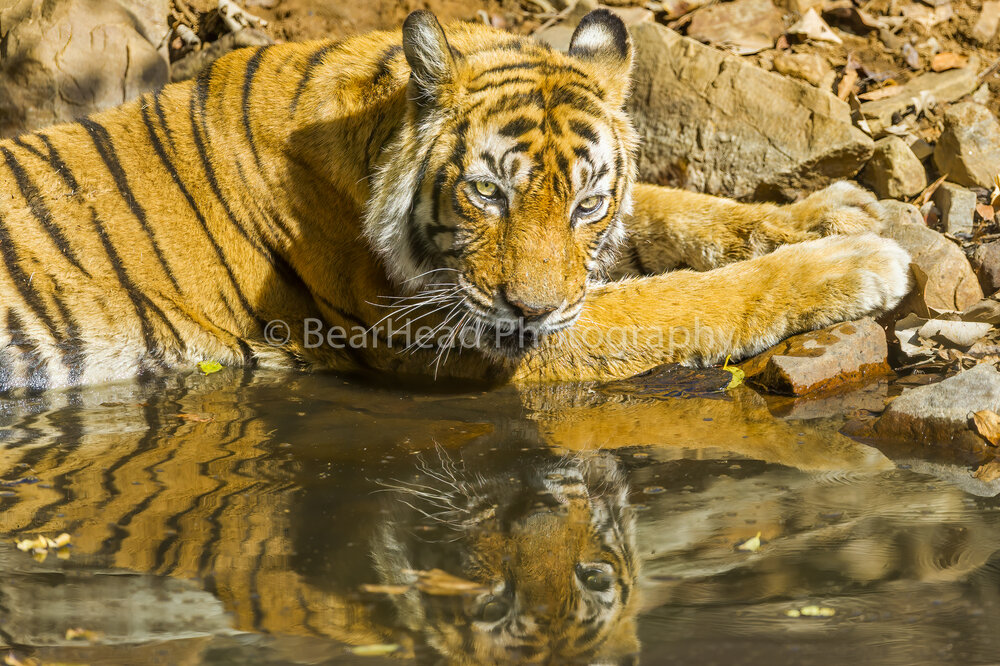 Queen Tigress