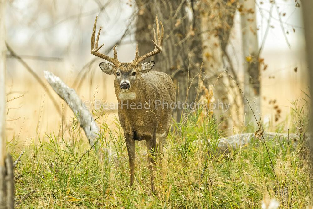 Forest Buck