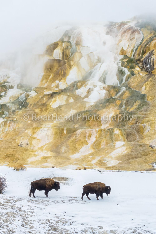 Thermal Bison