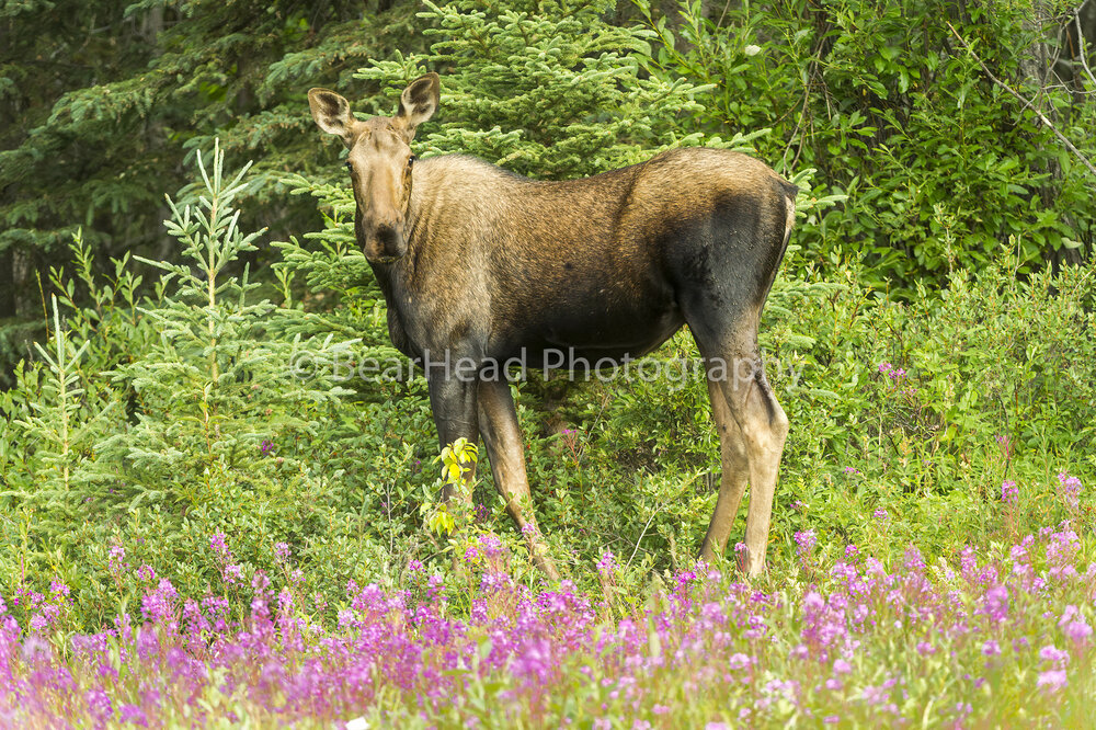 Young Fireweed