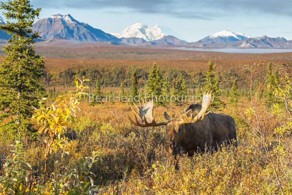 Moose Dreams