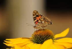 painted-lady-butterfly-insect-walking-butterfly-158253.jpg