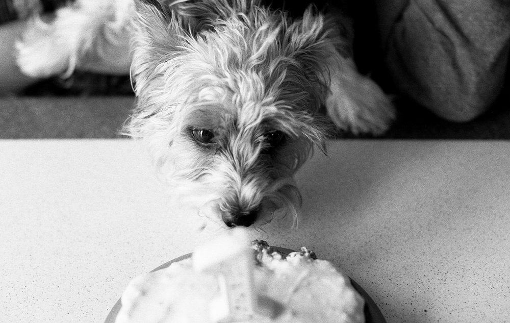 Yorkie puppy enjoying her first birthday cake.