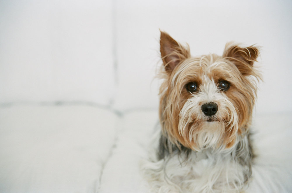 Portrait of a pet Yorkshire Terrier in Fargo.