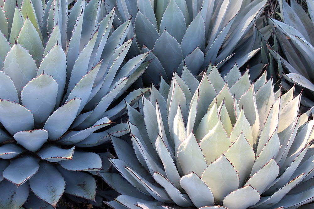 agave_raychponygold2.jpg
