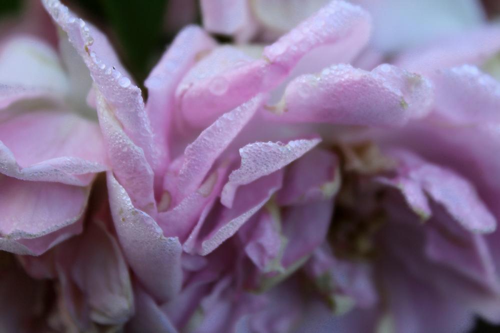 rose_raychponygold3.jpg