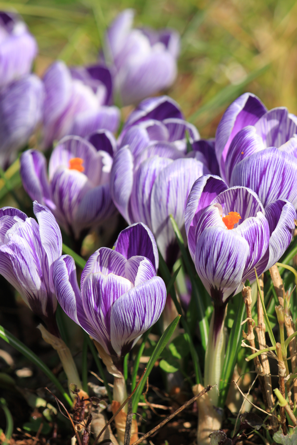 Crocus Pickwick.jpg