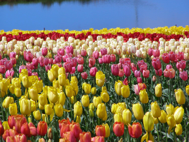 Table cape tulip farm front pageg mightylinksfo