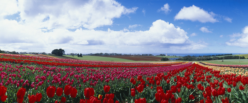 T0032 Tulips at Table Cape.jpg