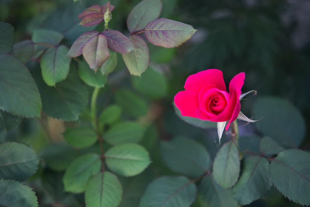 IMG_Rose17_001.png