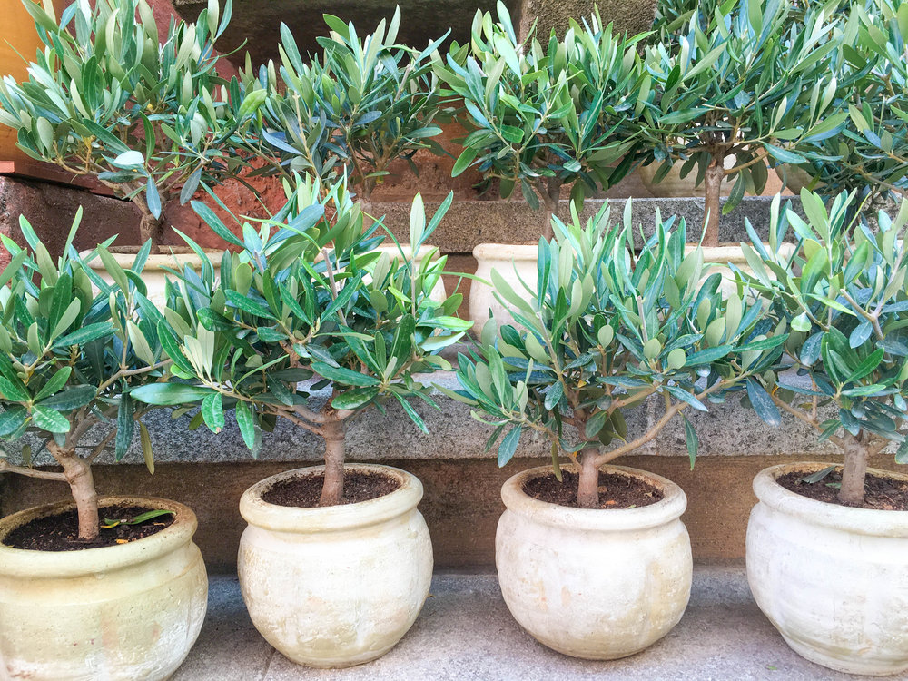 Potted olive trees in Roussillon, France | #mfrancisdesign