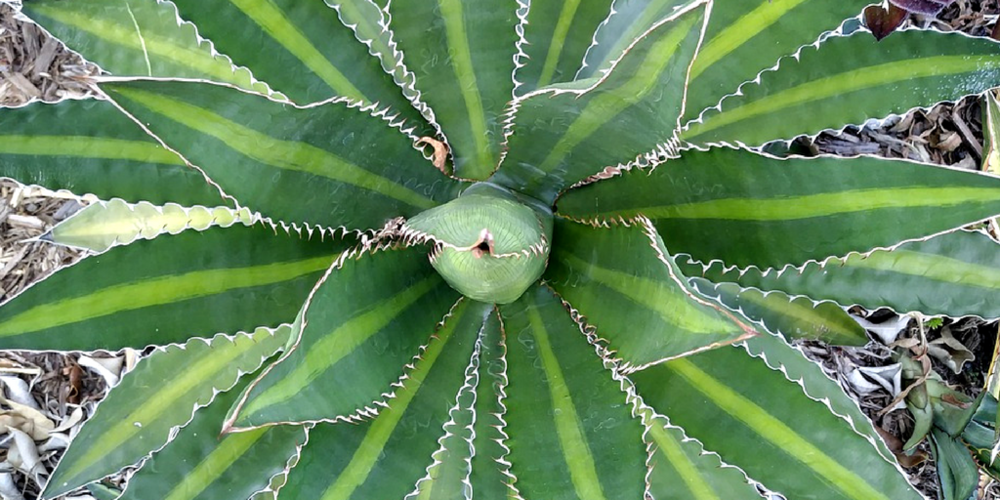 aloe vera juice - Rejuvenating properties help promote the growth of new hair, while smoothing and providing intensive moisture to dry, dull hair. Rich in fatty acids, minerals and vitamins, an excellent emollient and moisturizer that conditions hair by sealing in moisture and detangling.