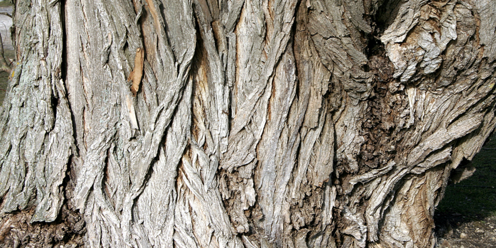 willow bark - A source of salicylic acid, and natural astringent with detoxifying abilities that soothe and calm acne-prone skin while promoting a youthful, radiant glow. A natural conditioner that also boosts hydration and healing for dry, damaged hair.