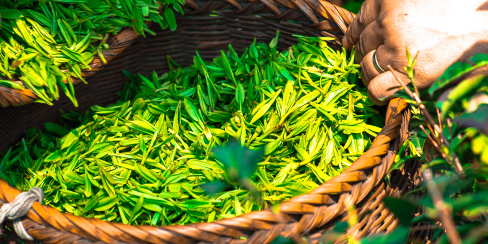 organic green tea - Green tea is a powerful source of hardworking antioxidants and key nutrients for healthy skin. Detoxifying green tea helps tone skin's appearance and rid the body of toxins. It has been used throughout history for its healing, anti-inflammatory and anti-carcinogenic properties.