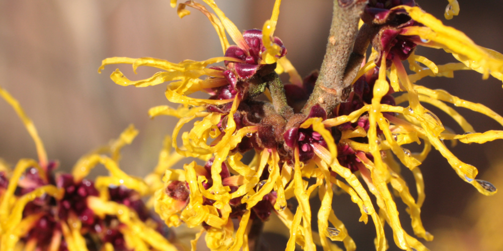 witch hazel - Witch hazel extract is a natural astringent that tightens pores, soothes scalp, and tones discoloration and spotting. Witch hazel promotes a youthful, radiant glow and helps combat acne and help fight dandruff.