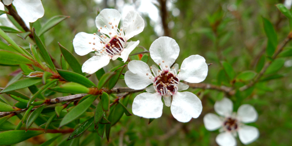 tea tree essential oil - Coveted for its natural antibacterial and antiseptic properties, tea tree oil frees skin from impurities for a deeper clean. A little goes a long way toward prepping skin and scalp to avoid dryness, flakiness and inflammation with prolonged use.