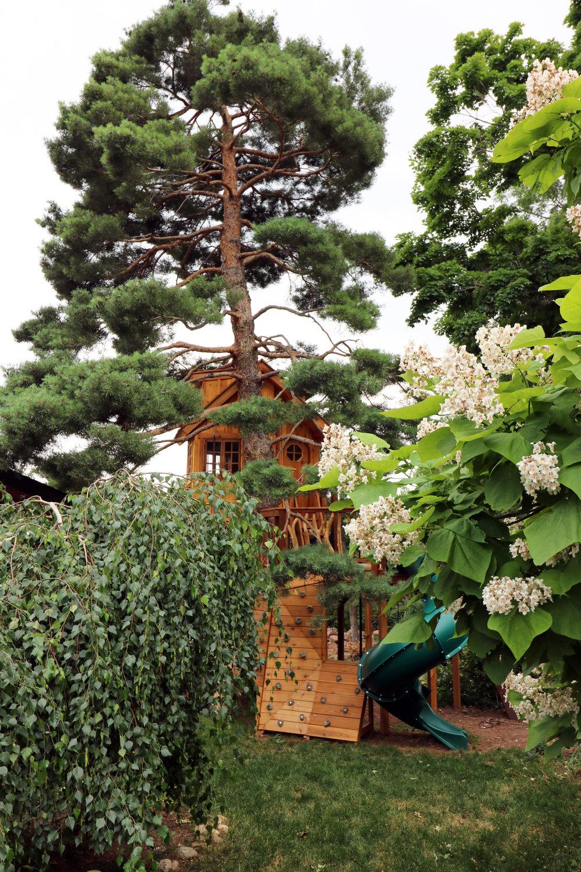 Scots Pine 1.JPG