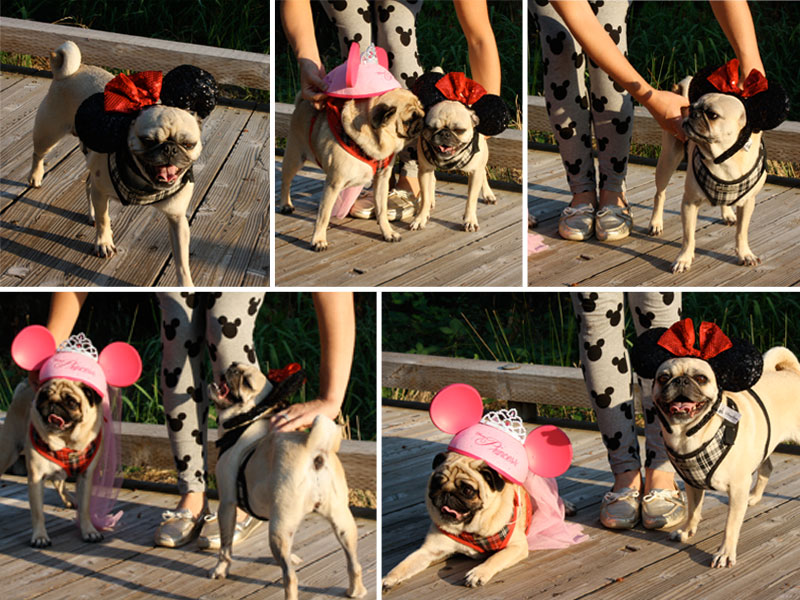 Pugs dressed in Disney Mickey Ears