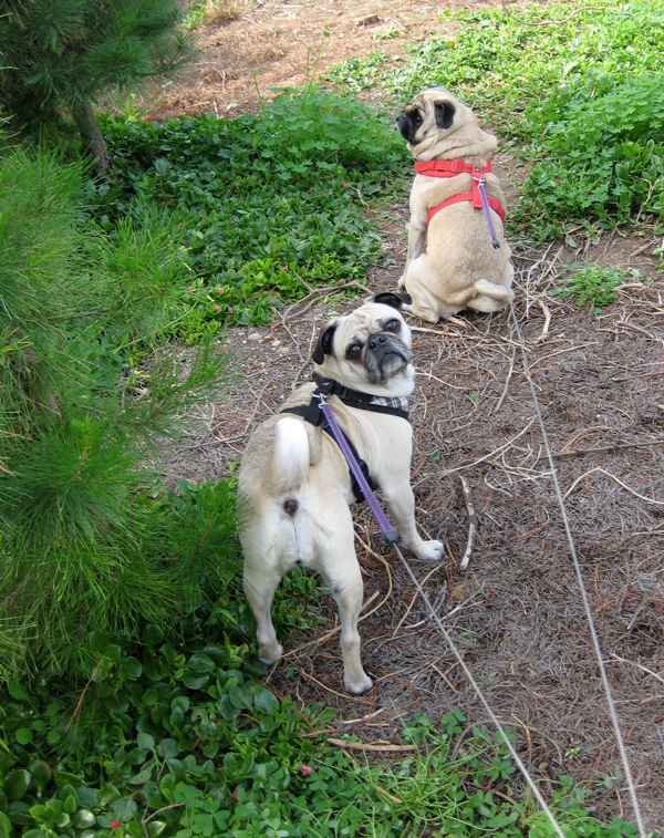 Pugs waiting for Daddy at Tree Farm