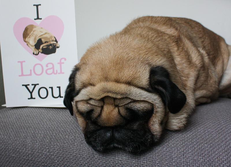 Chloe the Pug Loaf